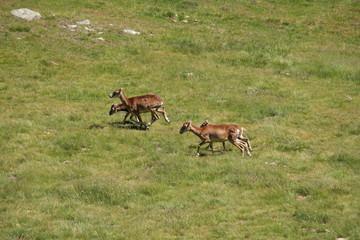 Mouflons de corse (ovis orientalis)