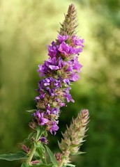 flower of purple loosestrife close up