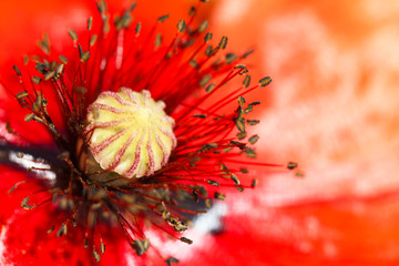 blooming red poppy flower macro