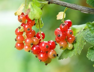 Fresh red currant (Ribes rubrum) fruit hanging on the twig.