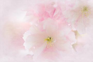 Blüten der Japanischen Kirsche als Hintergrund
