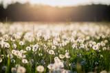 dandelion field at sunset - 66941657