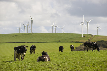 Cows graze in front of wind turbines in Cornwall, UK.