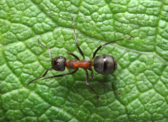 running ant......