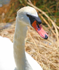 elegant Swan female with very long necks and beaks