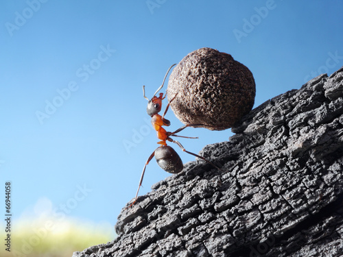 red ant rolls stone uphill Poster