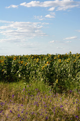 Field of sunflowers, sky, clouds and flowers