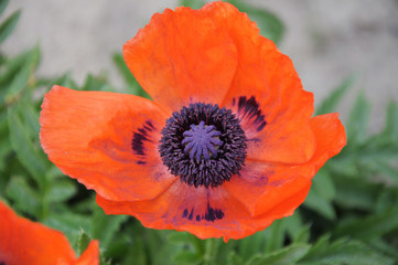Papaver orientale red flower