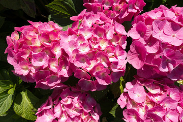 Pink Hydrangea Flowers with Rain Drops