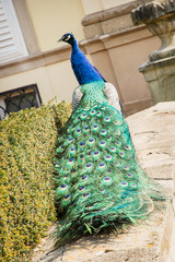 Peacock in the castle garden