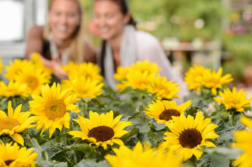 Sunflower flowerbeds in focus two woman smiling