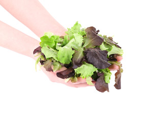 Green and red leaf of lettuce in hands.