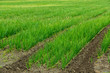 Agricultural field with onion