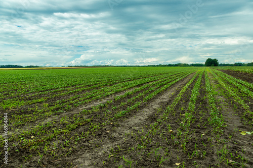 Field of red beet