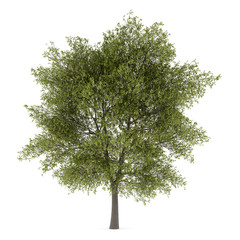 poplar tree isolated on white background