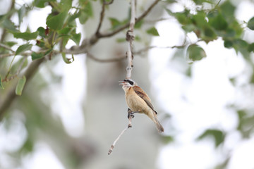 Chinese Penduline Tit (Remiz consobrinus) nesting in North China