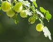 Stachelbeeren am Zweig