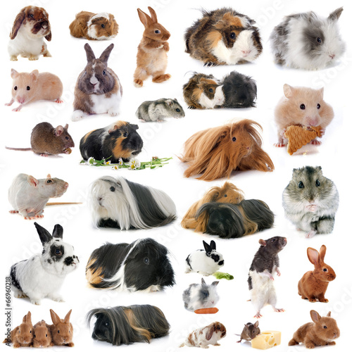 canvas print picture group of rodents