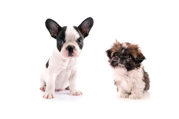 French bulldog and shih tzu puppies isolated on white background