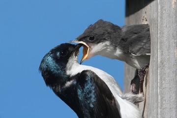 Tree Swallow Feeding A Baby
