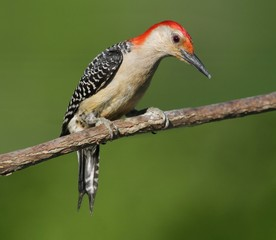 Woodpecker on a branch