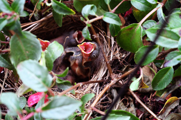 Baby Sparrow in a Nest