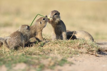 European ground squirrel, Spermophilus citellus