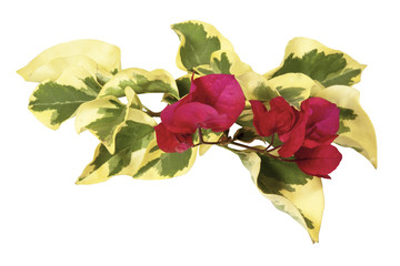 Sprig of Variegated Bougainvillea Leaves with Cerise Flowers