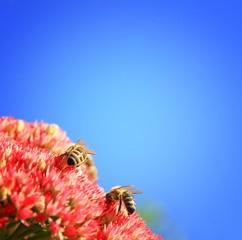 Bienen auf Nahrunssuche