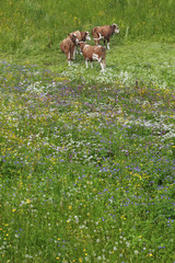 Cow in Meadow, Lauterbrunnen valley, Switzerland