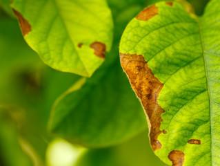 Disease of fruit trees leaves