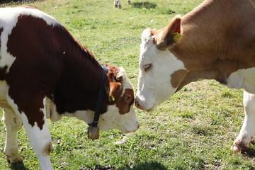 manze mucche in valle di fassa dolomiti del trentino