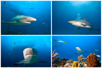Sharks of caribbean sea 3. Caribbean sea shark.