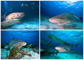 Sharks of caribbean sea 2. Lemon shark.
