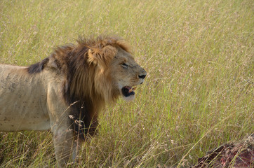 The lion and its pray in the savannah, Kenya.