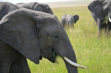 Group of elephants eating