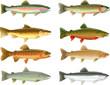 Trout Species - 66971693