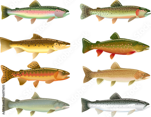 Fototapeta Trout Species