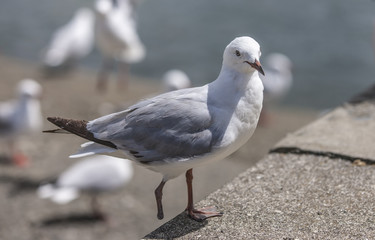 Seagull with only one foot in the village of Waitangi