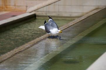 Möwe trinkt Wasser im Brunnen