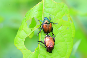 Japanese beetle (Popillia japonica) in Japan