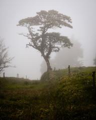Big Tree in Fog, Costa Rica
