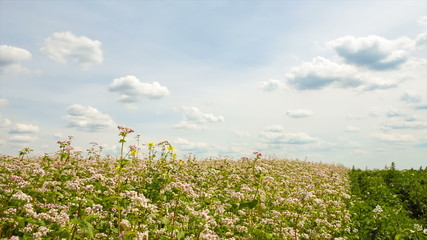 Field with blossoming buckwheat in Ukraine.