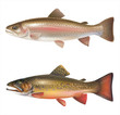 Rainbow trout and brook trout isolated on white. Vector - 66977217