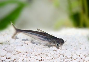 Pangasius Catfish Pangasius hypophthalmus