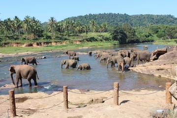 Elephants on a watering place. Pinnawela, Sri Lanka.