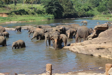 Elephants on a watering place. Pinnawela, Sri Lanka.