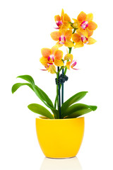 beautiful yellow orchid in pot, isolated on white