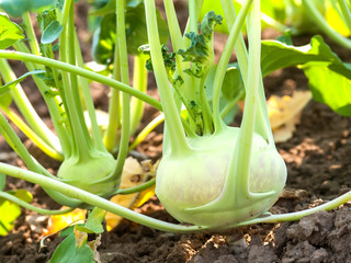 Kohlrabi in the vegetable garden