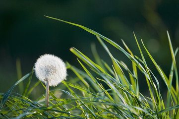 dandelion in grass near
